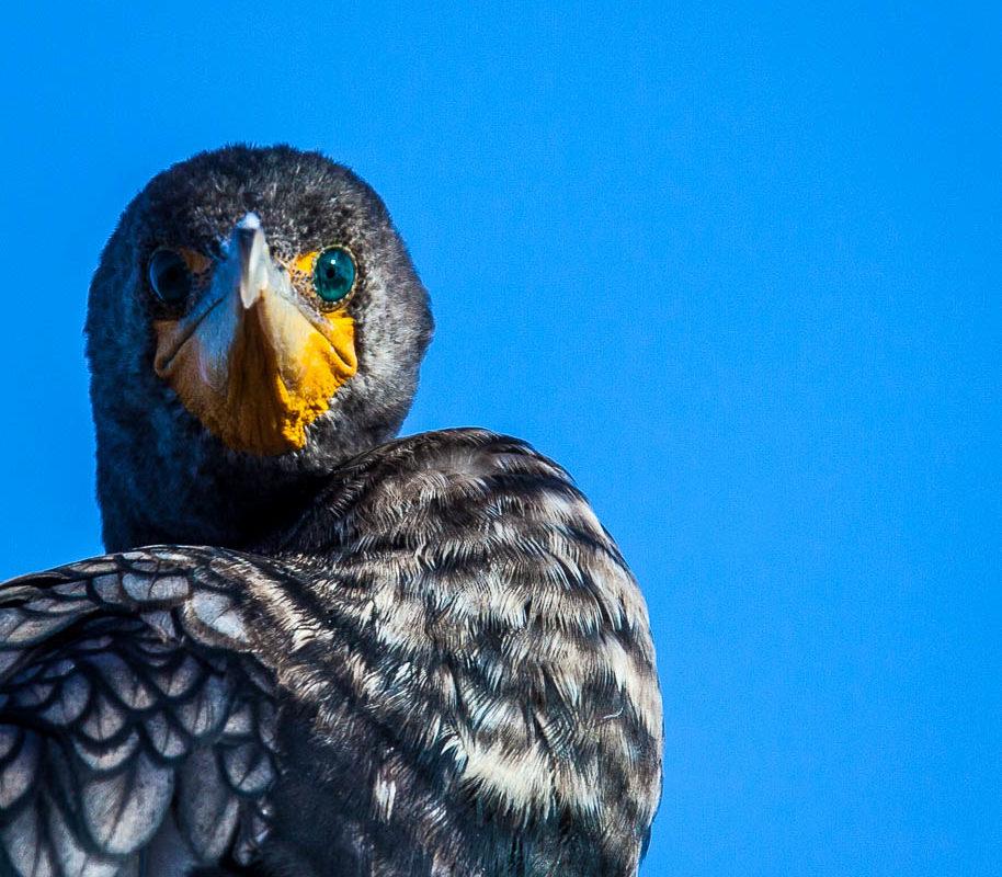 cormorant (1 of 1)